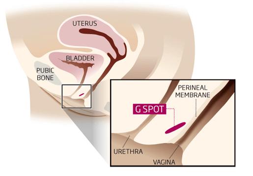 Female g spot diagram final
