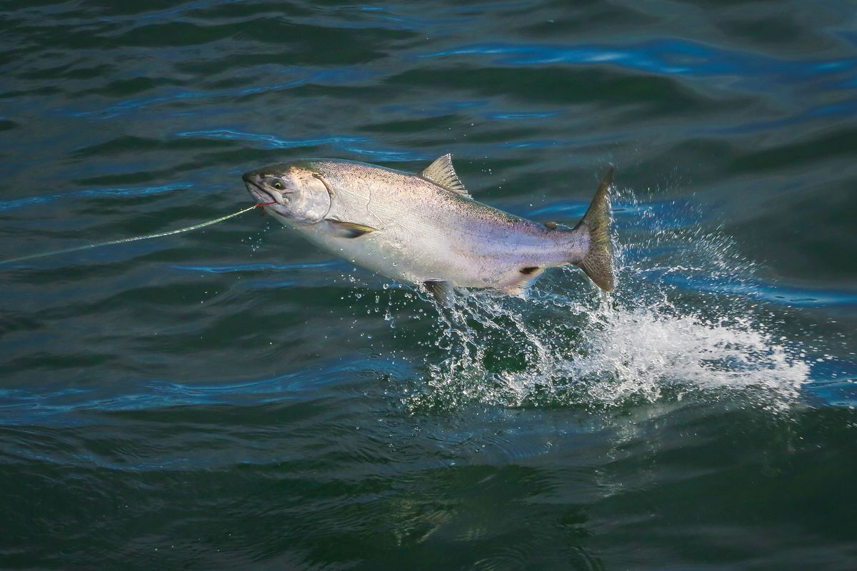 Alaska S Mysteriously Shrinking Kenai King Salmon