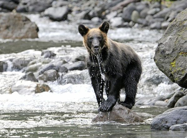Japan' Brown Bears Shifted Vegetarian Diet