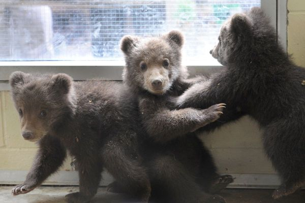 Video Rescued Brown Bear Cubs Play Alaska Zoo