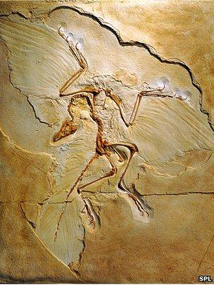 _67855478_c0102628-archaeopteryx_fossil,_berlin_specimen-spl