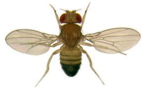 ذبابة الفاكهة السوداء البطن Drosophila melanogaster