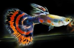 أسماك الجوبي Guppies