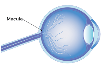 Diagram of macula position within the eye