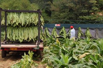 Gallinella: Appoggio e complimenti per verbale intesa tabacchicoltura