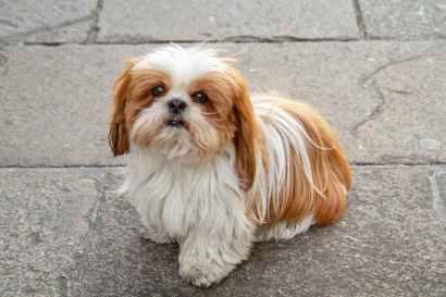 Cachorro Shih-tzu: fotos, personalidade, cuidados, preço e mais - Adoro Pets