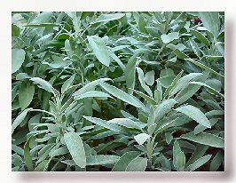 Sage for Hot Flashes