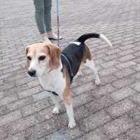 BEAGLE PONGO – beagle di 8 anni