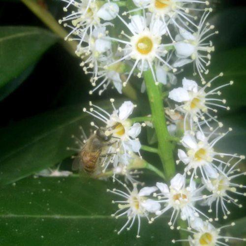 ape su fiore