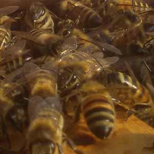 Un saluto di buon anno alle api