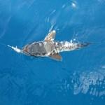 Kılavuz Balığı Videosu