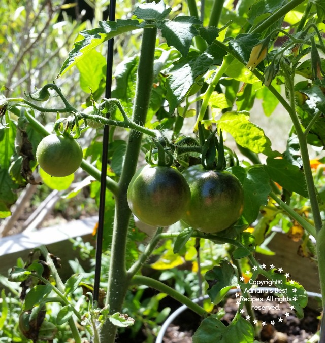 Preventing Bugs on Vegetable Gardens and Tomato Plants #MiJardinalidad #ad