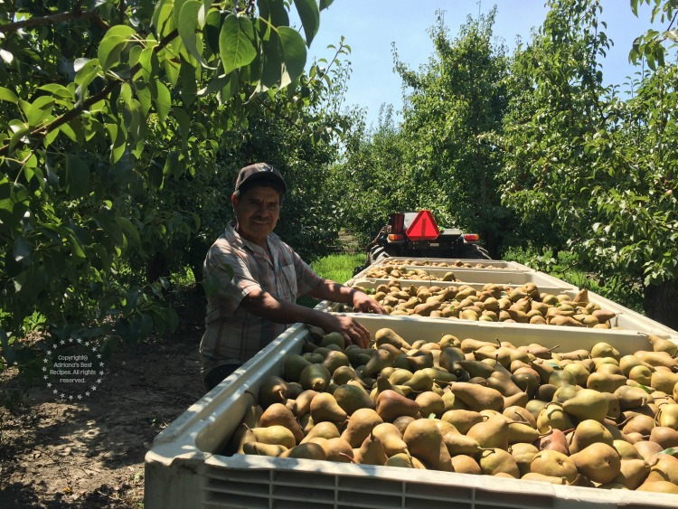 Fellow Mexican immigrant managing a pear orchard in California