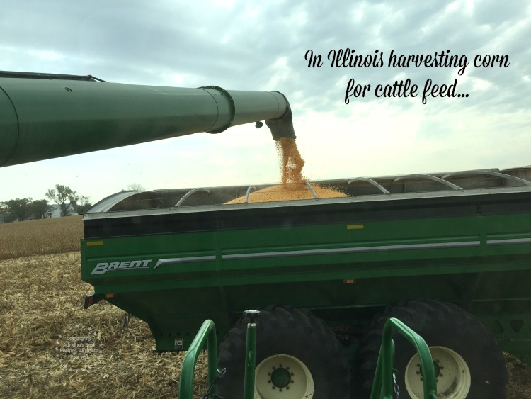 I had the chance to ride a conveyor and harvest corn