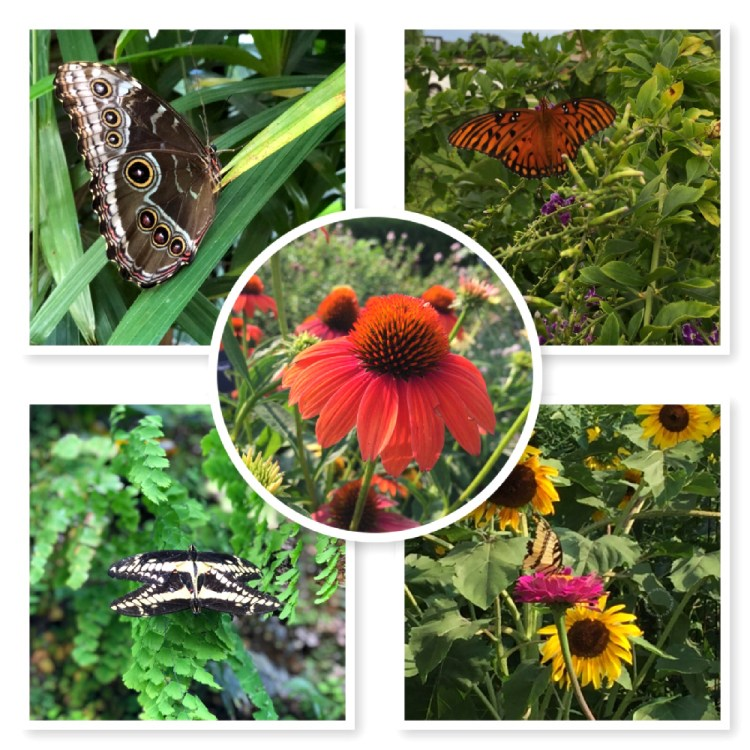 Butterflies come in different colors and shapes. And love colorful coneflowers.