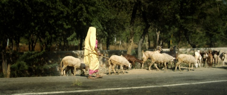 Indian woman herding sheep alongside road holding a long stick and wearing a yellow Sari, India