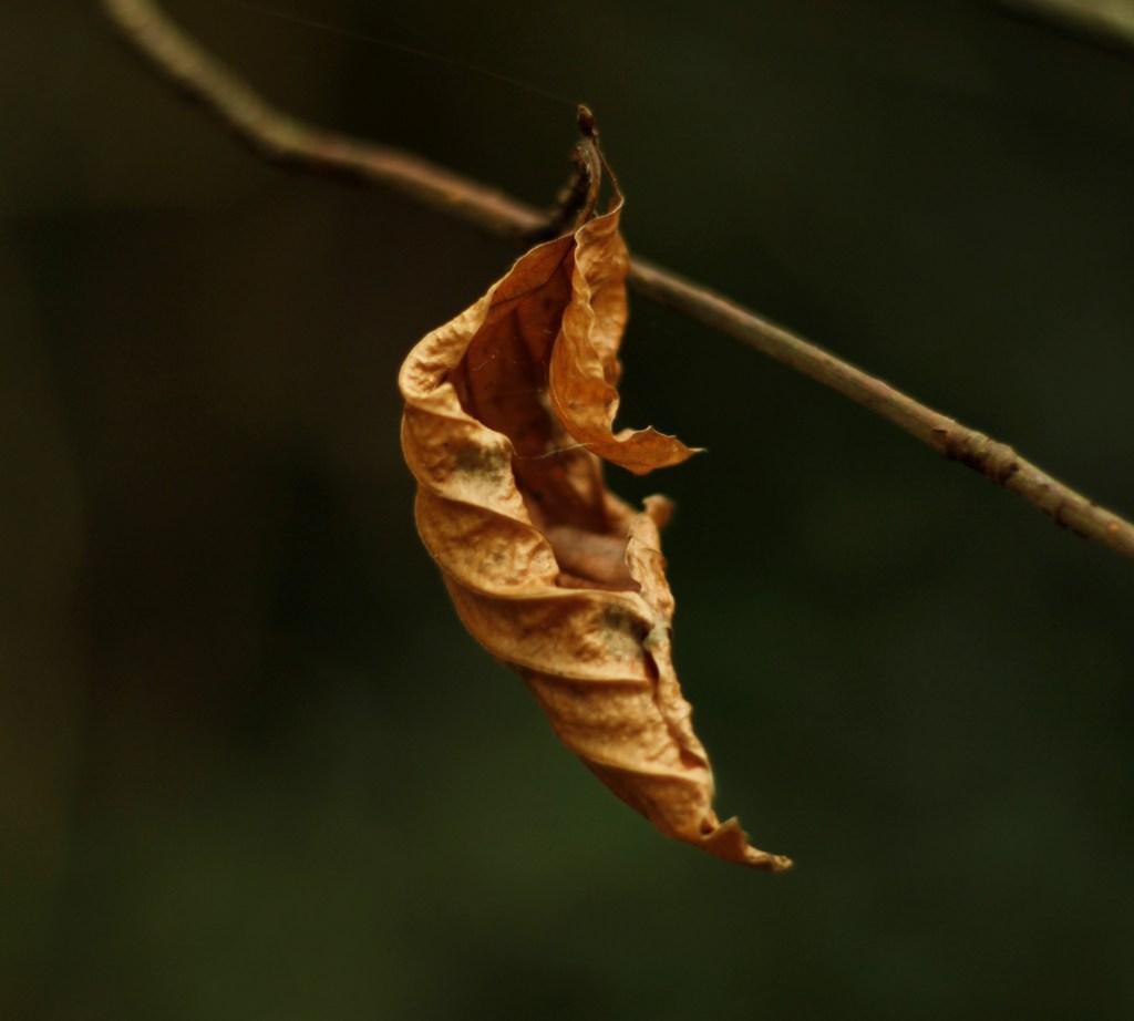 Autumn Leaf in soft light