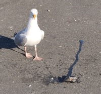 Gull next to a shellfish
