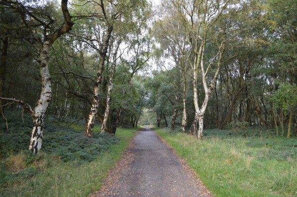 Path lined with silver birches on Cannock Chase.
