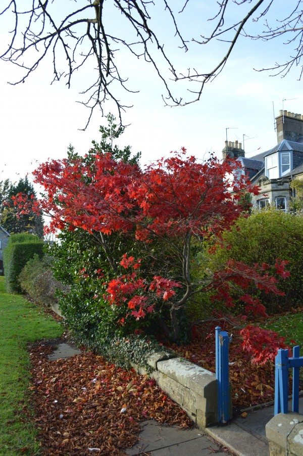 Red tree blue gate in St Andrews.