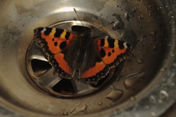 Small Tortoiseshell Butterfly,