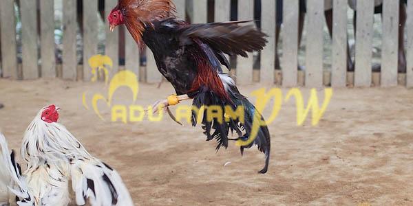 Alur Petarungan Pada Sabung Ayam Pukul Mati