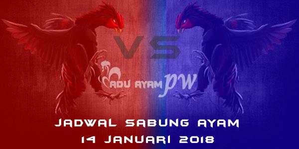 jadwal sabung ayam 14 Januari 2018