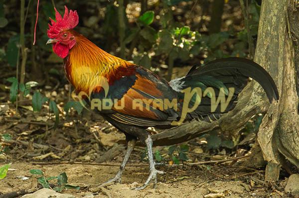 Gambar Ayam Menurut Adu Ayam Terbaik