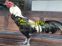 Mengenal Tentang Adu Ayam Birma Asli