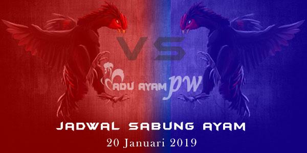 Jadwal Sabung Ayam 20 Januari 2019