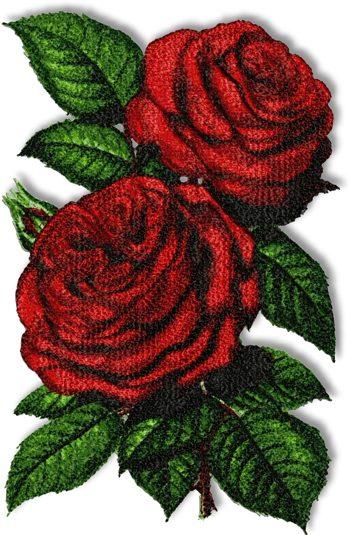 duchess of bedford rose
