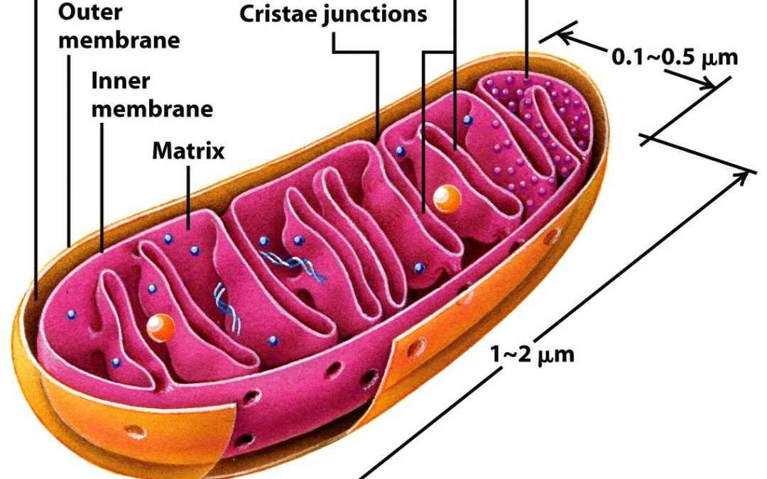 Cannabidiol (CBD Oil) and the Mitochondria