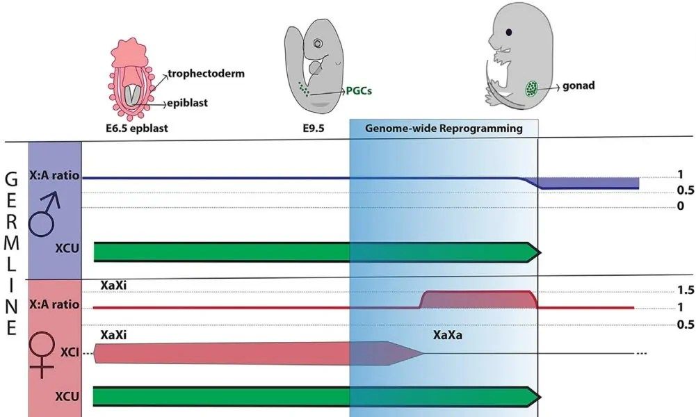 hight resolution of mammalian x chromosome dosage compensation in the germ line