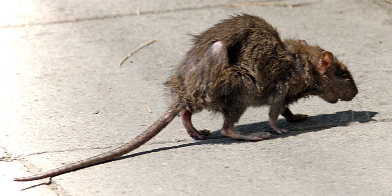 Rodent Borne Diseases - Advance Pest Control