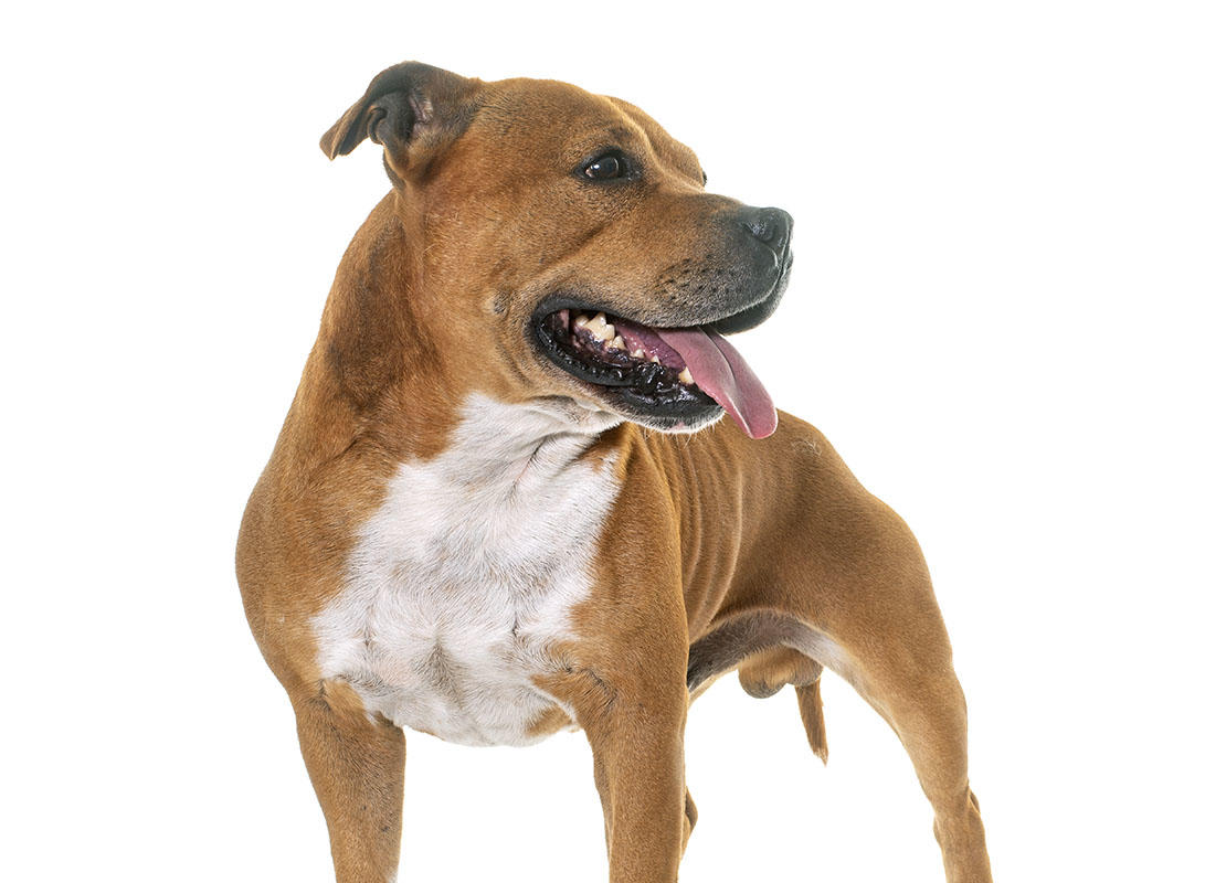 Staffordshire Bull Terrier Your Strong Strapping Friend