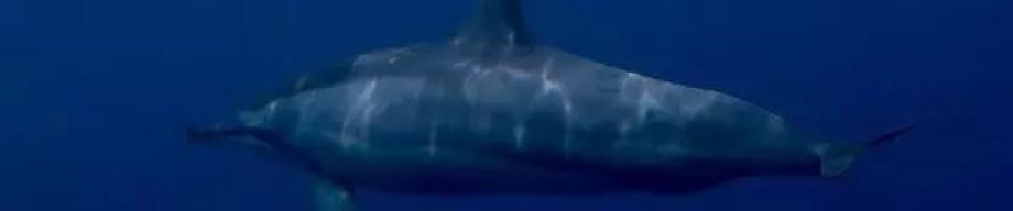 Spinner dolphins in Rarotonga