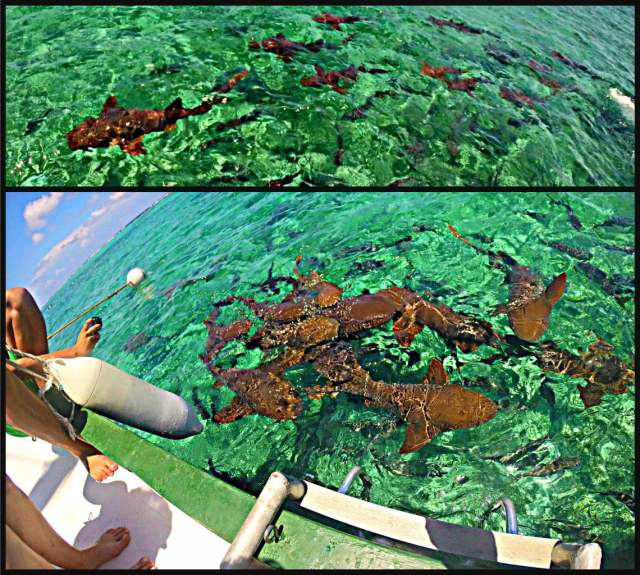 How to swim with sharks Caye Caulker Belize nurse sharks