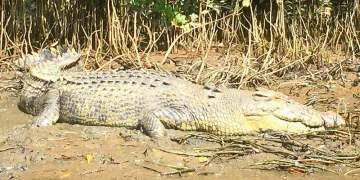 Daintree River Cruises Bruce Belcher's Crocodile Cruise