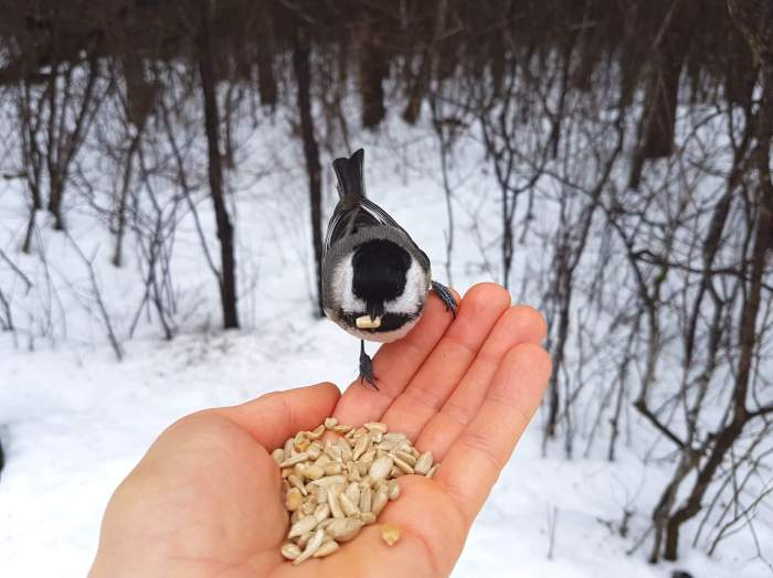 Feeding the chickadees.