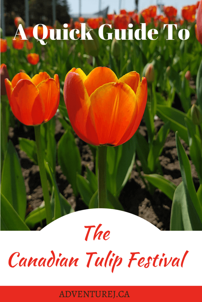 At the beginning of every May my home city of Ottawa hosts the Canadian Tulip Festival. This is a great time to be in the city, enjoying the warm weather and the company of thousands of colorful tulips. Here's a quick guide to help you make the most of your experience. #flowers #tulip #Canada #Canadian #festival #outdoors #flower #Ottawa #travel #bywardmarket
