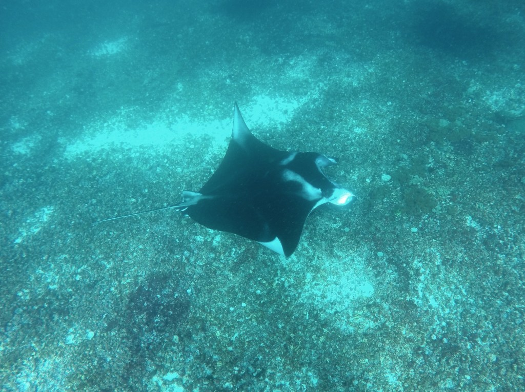 A manta swimming below.