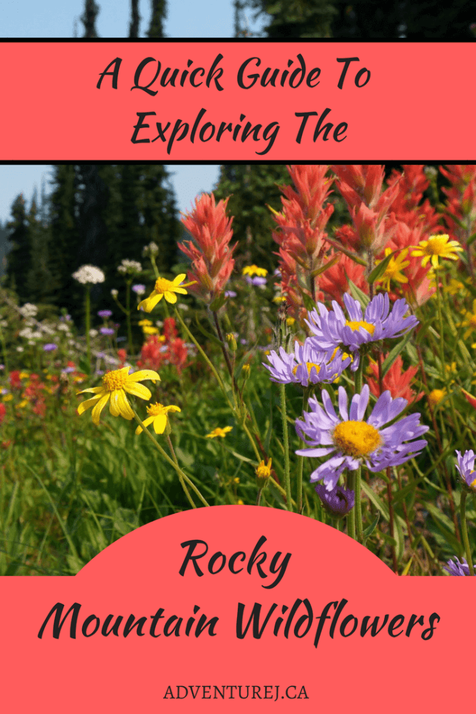 The best time to explore the Rocky Mountains is during wildflower season! Read this guide to know where, when, why and how to enjoy one of mother natures most beautiful shows.  #flowers #wildflowers #rockymountains #mountains #beautiful #mothernature #Canada #alberta #BritishColumbia #hiking #outdoors #nature #travel
