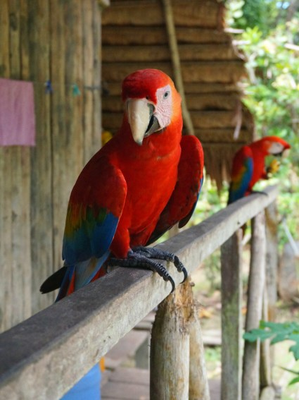 2 of the resident scarlet macaws.