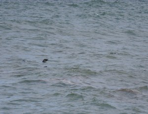 Seals fishing for dinner in the ocean.