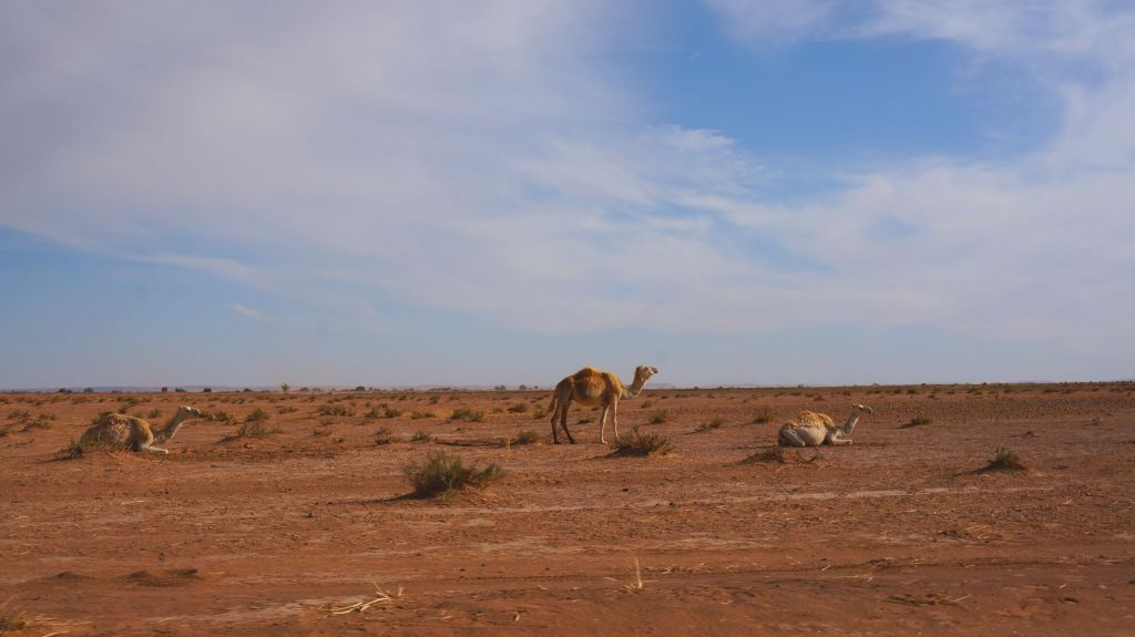 Camels, rocks and sand.