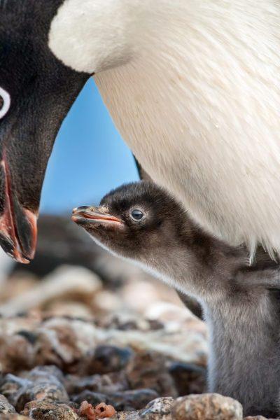 Adelie Penguin baby
