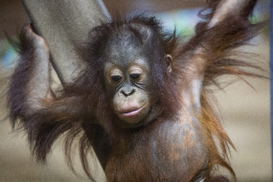 Orangutan Caring