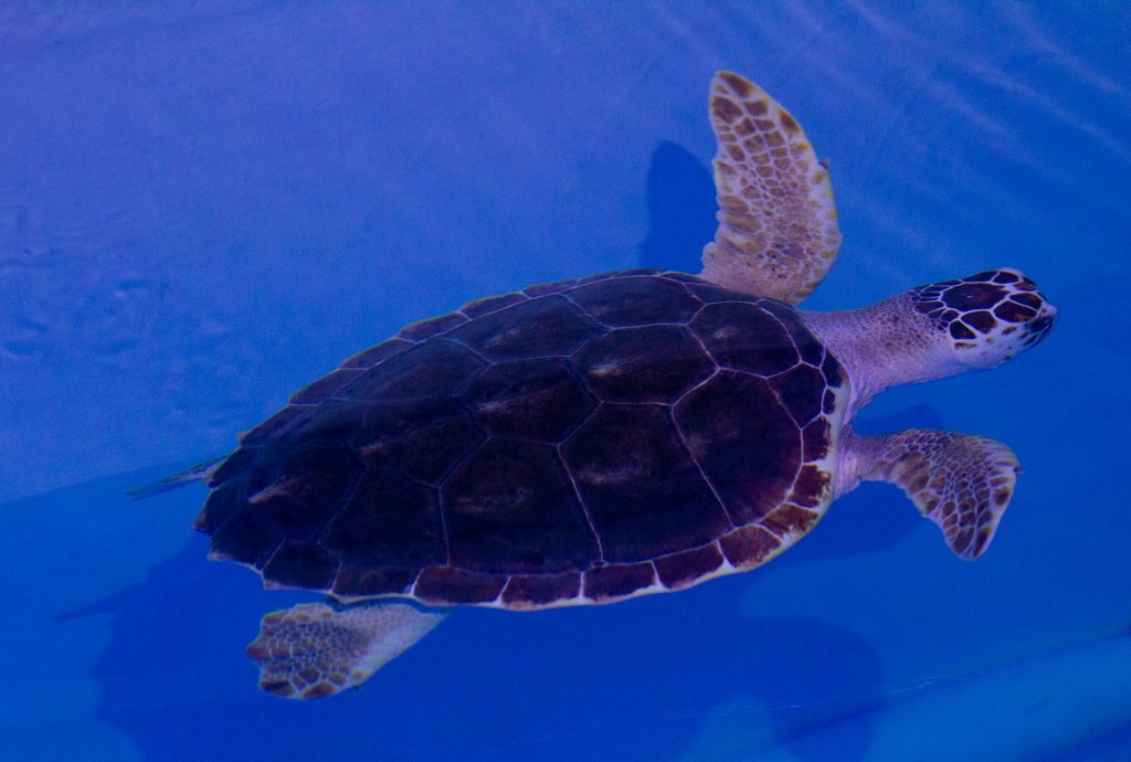 CMA Snorkel the sea turtle