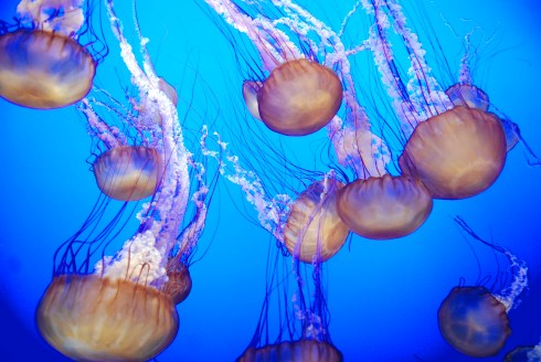 Jellies - Monterey Bay Aquarium