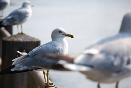 Seagulls on Roosevelt Island - New York City